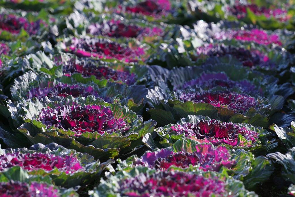 národní parky a zahrady - Francie - zámky na Loiře - Villandry, i zelenina může být krásná